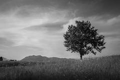 L'albero (paolo-p) Tags: pagnacco trees bw alberi clouds nuvole bn fontanabona