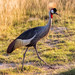 Grey Crowned Crane, Amboseli National Park