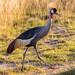 Grey Crowned Crane, Amboseli National Park