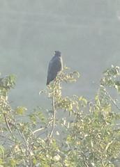 Common Black Hawk, West Locks, Panama Canal_4738(1) (Patterns and Light) Tags: panama 2018 buteogallus anthracinus buteogallusanthracinus
