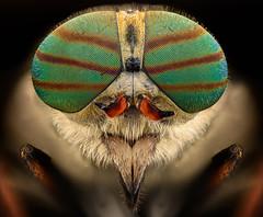 horsefly (davidshred) Tags: horsefly92exposures wemacro40um lomo3 7 nikond810 nikonr1c1flashkit zerenestacker photoshop iso641200