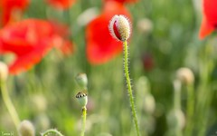 Poppy - 6922 (✵ΨᗩSᗰIᘉᗴ HᗴᘉS✵89 000 000 THXS) Tags: poppy flower flora belgium europa aaa namuroise look photo friends be yasminehens interest eu fr party greatphotographers lanamuroise flickering awesomeblossoms