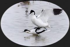 Le printemps des avocettes (watbled05) Tags: animal baiedesomme eau oiseaudeau picardie reflets parcdumarquenterre avocettes accouplement