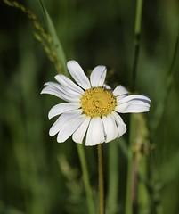 Ox-Eye daisy (MJ Harbey) Tags: flower daisy oxeyedaisy dogdaisy leucanthemumvulgate asterids asterales asteraceae leucanthemum stowegardens nationaltrust buckinghamshire nikon d3300 nikond3300