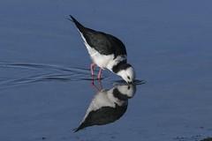 Pied Stilt (njohn209) Tags: birds d500 nikon nz