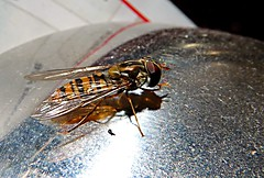 Hoverfly (Hornbeam Arts) Tags: insects