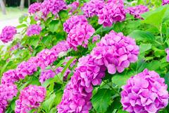 RAW_IMGP4850 (kirinoa) Tags: 鎌倉市 神奈川県 日本 藤沢市 紫陽花