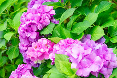 RAW_IMGP4849 (kirinoa) Tags: 鎌倉市 神奈川県 日本 藤沢市 紫陽花
