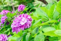 RAW_IMGP4848 (kirinoa) Tags: 鎌倉市 神奈川県 日本 藤沢市 紫陽花
