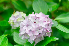 RAW_IMGP4826 (kirinoa) Tags: 日本 神奈川県 鎌倉市 紫陽花 藤沢市