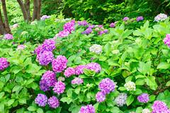 RAW_IMGP4846 (kirinoa) Tags: 鎌倉市 神奈川県 日本 藤沢市 紫陽花