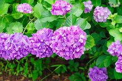 RAW_IMGP4845 (kirinoa) Tags: 鎌倉市 神奈川県 日本 藤沢市 紫陽花