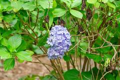 RAW_IMGP4844 (kirinoa) Tags: 鎌倉市 神奈川県 日本 藤沢市 紫陽花