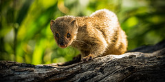 Mongoose (si_glogiewicz) Tags: mongoose mongooses hawaii pest rats honalulu rodents rodent invasive predator brown nocturnal animal animals fauna pests