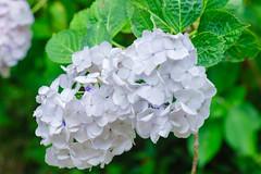 RAW_IMGP4808 (kirinoa) Tags: 日本 神奈川県 鎌倉市 紫陽花 藤沢市