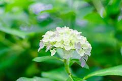 RAW_IMGP4825 (kirinoa) Tags: 日本 神奈川県 鎌倉市 紫陽花 藤沢市
