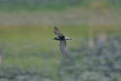 Черная крачка, Chlidonias niger niger, Black Tern (Oleg Nomad) Tags: чернаякрачка chlidoniasnigerniger blacktern птицы москва bird aves moscow