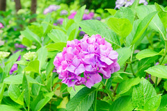 RAW_IMGP4847 (kirinoa) Tags: 鎌倉市 神奈川県 日本 藤沢市 紫陽花