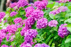 RAW_IMGP4843 (kirinoa) Tags: 鎌倉市 神奈川県 日本 藤沢市 紫陽花