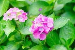 RAW_IMGP4842 (kirinoa) Tags: 神奈川県 鎌倉市 日本 紫陽花 藤沢市