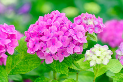 RAW_IMGP4839 (kirinoa) Tags: 鎌倉市 神奈川県 日本 藤沢市 紫陽花