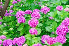 RAW_IMGP4829 (kirinoa) Tags: 日本 神奈川県 鎌倉市 紫陽花 藤沢市