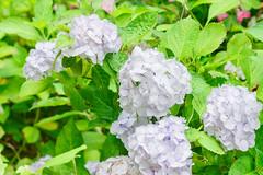 RAW_IMGP4813 (kirinoa) Tags: 神奈川県 鎌倉市 日本 紫陽花 藤沢市