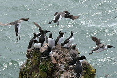 Seabird Meeting (eric robb niven) Tags: eric robb niven guillemots wildlife natur fowlsheugh springwatch