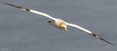 Soaring Gannet (Steve (Hooky) Waddingham) Tags: animal countryside coast nature bird british wild wildlife wildfowl flight fish duck prey photography planet ngc