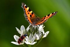 DSC_2903 Petite tortue (sylvette.T) Tags: papillon 2019 butterfly insecte petitetortue fleurs flowers tortoiseshellbutterfly aglaisurticae