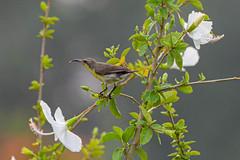 Olive backed Sunbird (proy21) Tags: sunbird olivebacked flower nikon d3300 tamron100400 gopegarh bengal