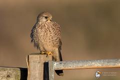 Kestrel (Simon Stobart) Tags: kestrel falco tinnunculus north east england uk