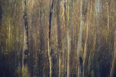 birch (JoStephenX) Tags: wood tree branches fairytale winter faerie pagan wild gold silver woodland forest nature