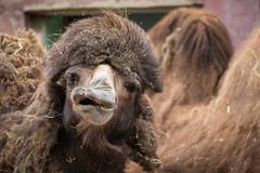 Bactrian camel (PeteMartin) Tags: amersfoort bactriancamel camel zoo netherlands
