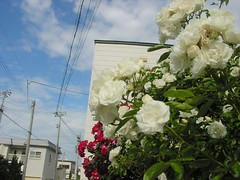 White rosy (しまむー) Tags: sony cybershot dscs70 s70 carl zeiss variosonnar 721mm 35105mm f2