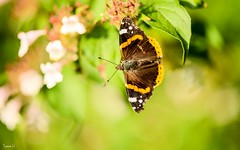 Butterfly - 6923 (✵ΨᗩSᗰIᘉᗴ HᗴᘉS✵62 000 000 THXS) Tags: butterfly macro papillon nature belgium europa aaa namuroise look photo friends be yasminehens interest eu fr party greatphotographers lanamuroise flickering