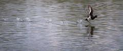 Tuft-off (Safarii) Tags: duck tufted tuftedduck flight takeoff running flying bird wildlife wildfowl ornithology water lake wetland quack