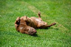Milly 06-2019 (13) (Armin Rodler) Tags: milly dog hund animal tier pinscher nikon d610