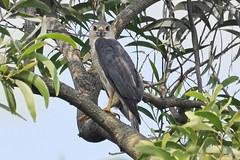 Male Shikra (Little Banded Goshawk) (proy21) Tags: shikra raptor redeyedbird birdofprey nikon d3300 tamron100400 gopegarh bengal malebird