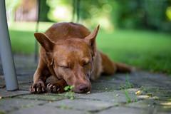 Milly 06-2019 (7) (Armin Rodler) Tags: milly dog hund animal tier pinscher nikon d610