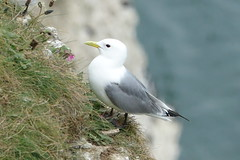 Kittiwake (hedgehoggarden1) Tags: kittiwake wildlife birds rspb nature sonycybershot creature animal bemptoncliffs yorkshire uk sony bird cliff