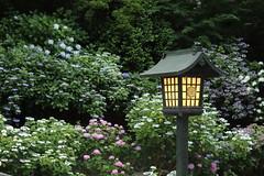 A Lantern in Hydrangea Garden (seiji2012) Tags: japan hino takahatafudo temple hydrangea light lantern 高幡不動 日野市 灯籠 アジサイ 紫陽花 多摩