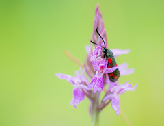 Red and black on the purple orchis (Gilbert de Bruijn) Tags: orchis stlocustbutterfly