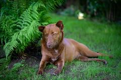 Milly 06-2019 (3) (Armin Rodler) Tags: milly dog hund animal tier pinscher nikon d610