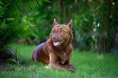 Milly 06-2019 (1) (Armin Rodler) Tags: milly dog hund animal tier pinscher nikon d610