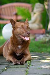Milly 06-2019 (11) (Armin Rodler) Tags: milly dog hund animal tier pinscher nikon d610
