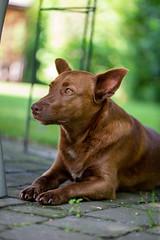 Milly 06-2019 (8) (Armin Rodler) Tags: milly dog hund animal tier pinscher nikon d610