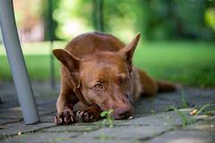 Milly 06-2019 (6) (Armin Rodler) Tags: milly dog hund animal tier pinscher nikon d610