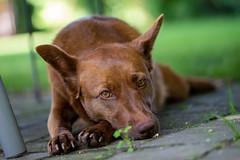 Milly 06-2019 (5) (Armin Rodler) Tags: milly dog hund animal tier pinscher nikon d610