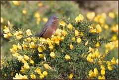Dartford Warbler (image 2 of 2) (Full Moon Images) Tags: dunwich heath nt national trust wildlife nature reserve bird gorse dartford warbler